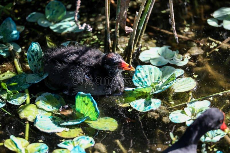 Pulcino comune di chloropus del Gallinula del gallinule del bambino trasandato immagini stock