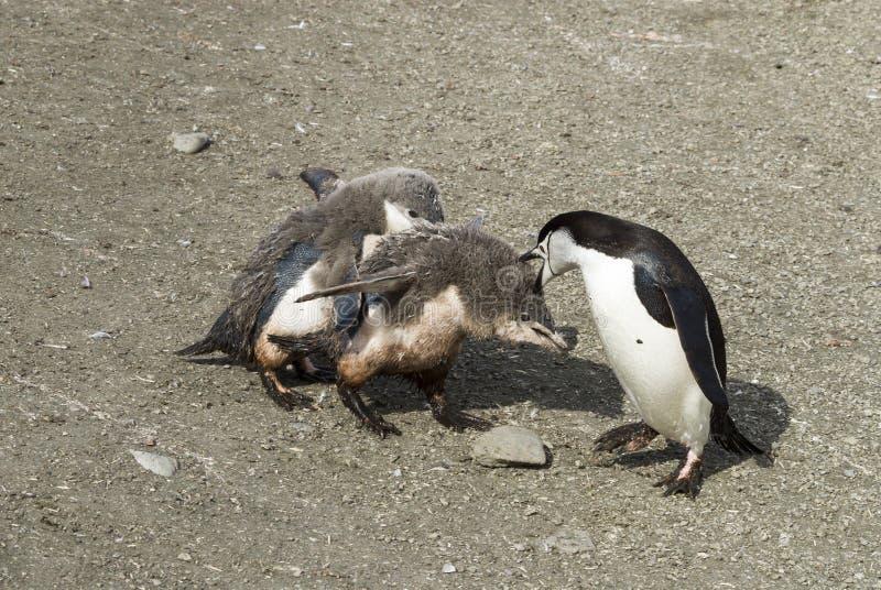 Pulcino d'alimentazione del pinguino di sottogola fotografie stock