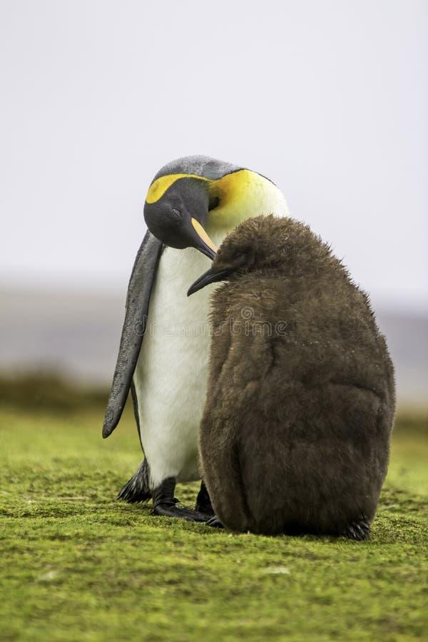 Pulcino d'alimentazione di re Penguin (patagonicus dell'aptenodytes) immagine stock libera da diritti