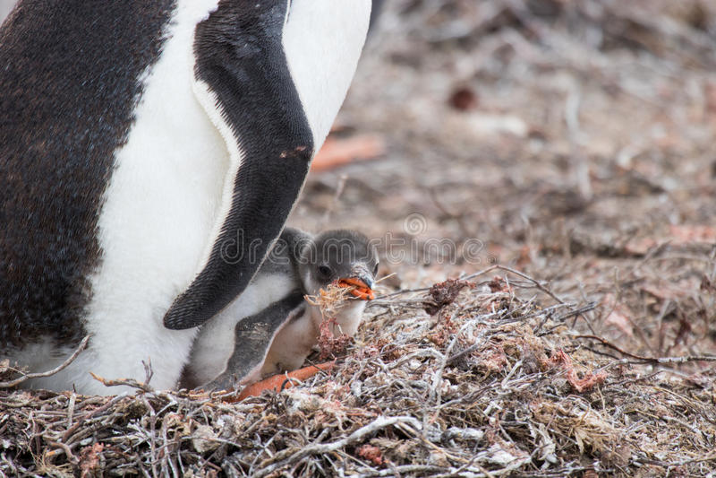 Pulcino del pinguino di Gentoo fotografia stock