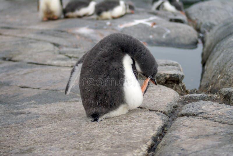 Pulcino del pinguino di Gentoo che graffia la sua testa in Antartide fotografia stock