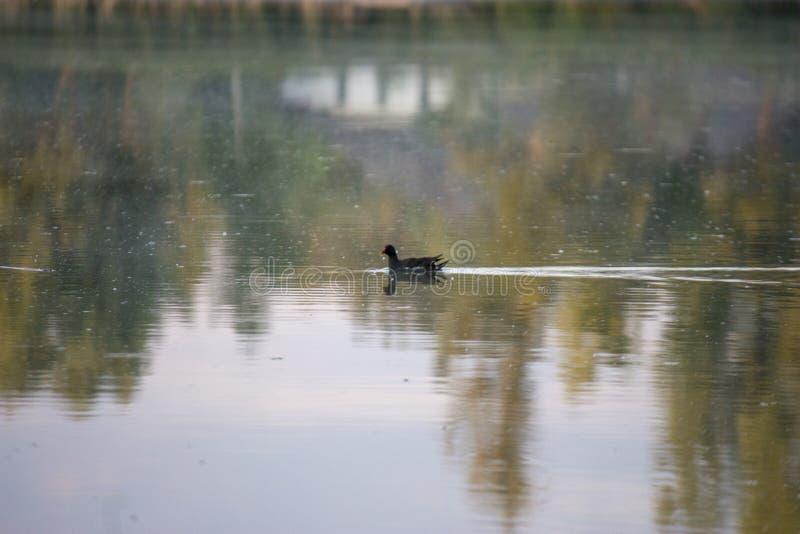 Pulcino della gallinella d'acqua, anatra selvatica con le nuotate rosse del becco di un chloorpus del Gallinula sullo stagno nel  fotografia stock