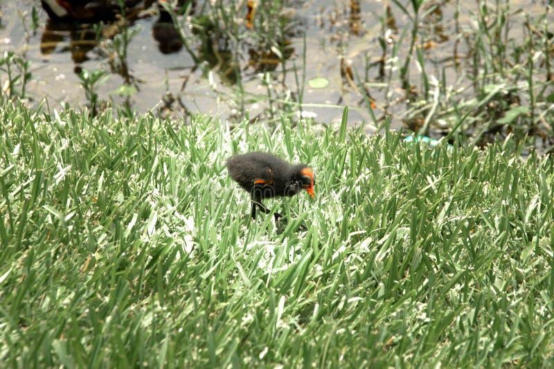 Pulcino della gallinella d'acqua del bambino con le ali minuscole al bordo del lago fotografie stock libere da diritti