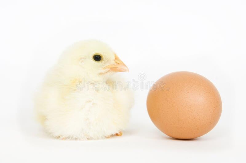 Pulcino ed uovo fotografia stock