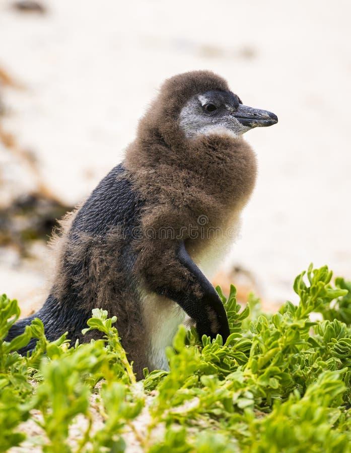 Pulcino in muta del pinguino fotografia stock libera da diritti