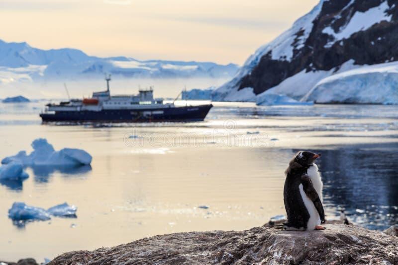 Pulcino pigro del pinguino di Gentoo che sta sulle rocce con la nave da crociera fotografie stock libere da diritti