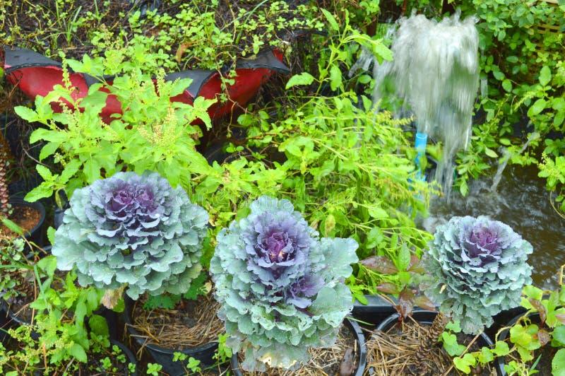 Pule, Longlived Cabbag (Brassica hybrid cv. Pule) royalty free stock images