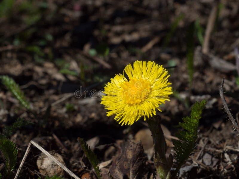 Puledri maschi-piede giallo sull'erba l'anno scorso appassita del ` s fotografia stock