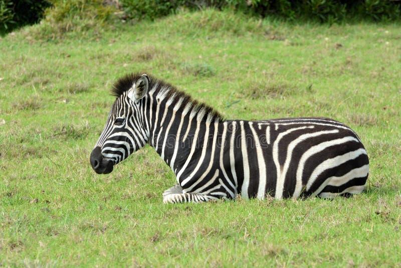Puledro della zebra che riposa nel selvaggio immagini stock libere da diritti