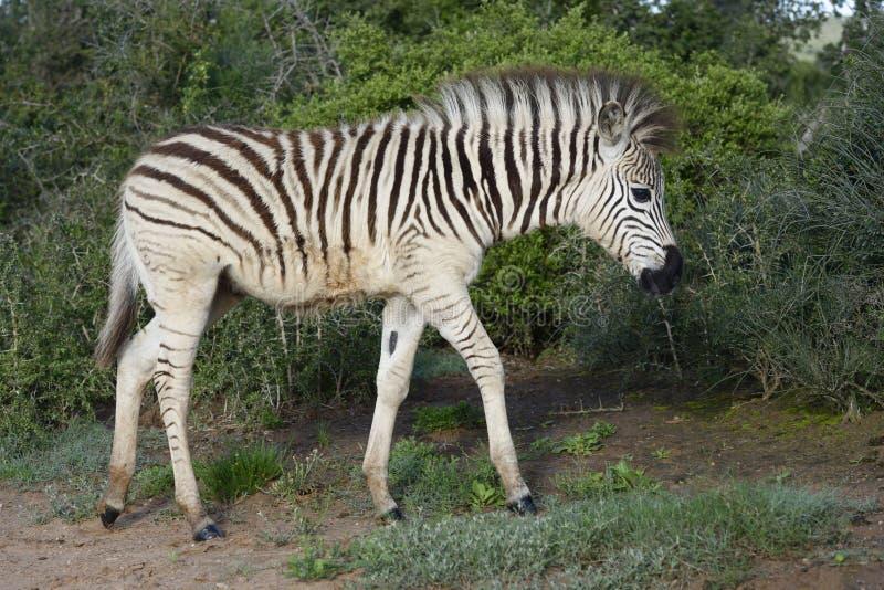 Puledro della zebra delle pianure in Addo Elephant National Park fotografia stock libera da diritti