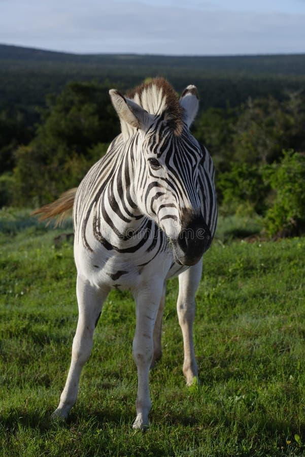 Puledro della zebra delle pianure in Addo Elephant National Park fotografie stock libere da diritti