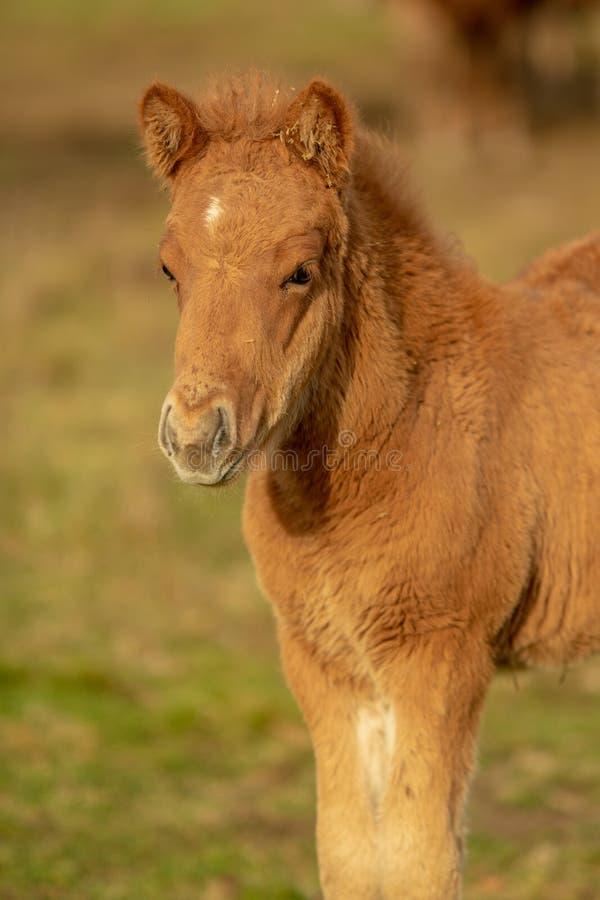 Puledro islandese marrone chiaro del cavallo nell'uguagliare luce solare gialla fotografie stock