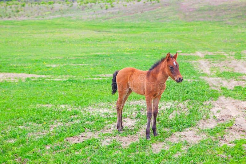 Puledro sul campo verde fotografia stock