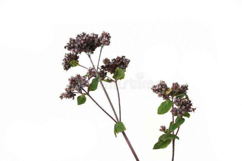 Pulegium do mentha da hortelã imagens de stock royalty free
