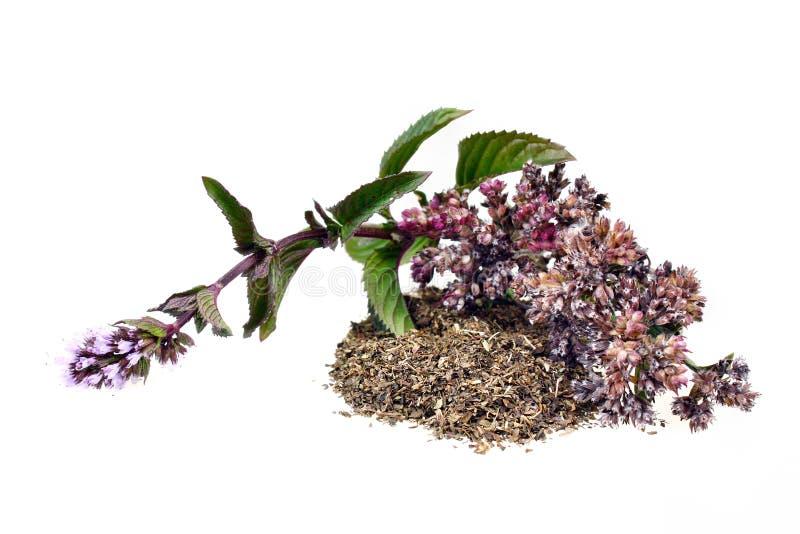 Pulegium do mentha da hortelã foto de stock royalty free