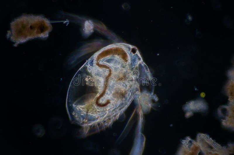 Pulga de agua imagen de archivo libre de regalías