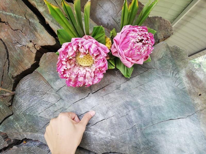 pulgar con el dedo al viejo árbol para encontrar el número para la lotería, cultura tailandesa foto de archivo