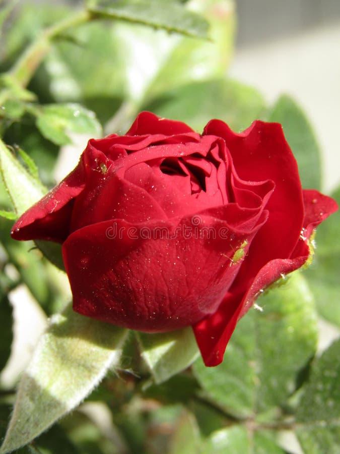 Pulgnes de la estafa del rojo del ³ n de Botà fotografía de archivo libre de regalías