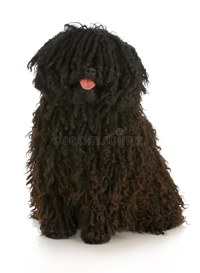Puli. Corded puli - hungarian herding dog with reflection on white background
