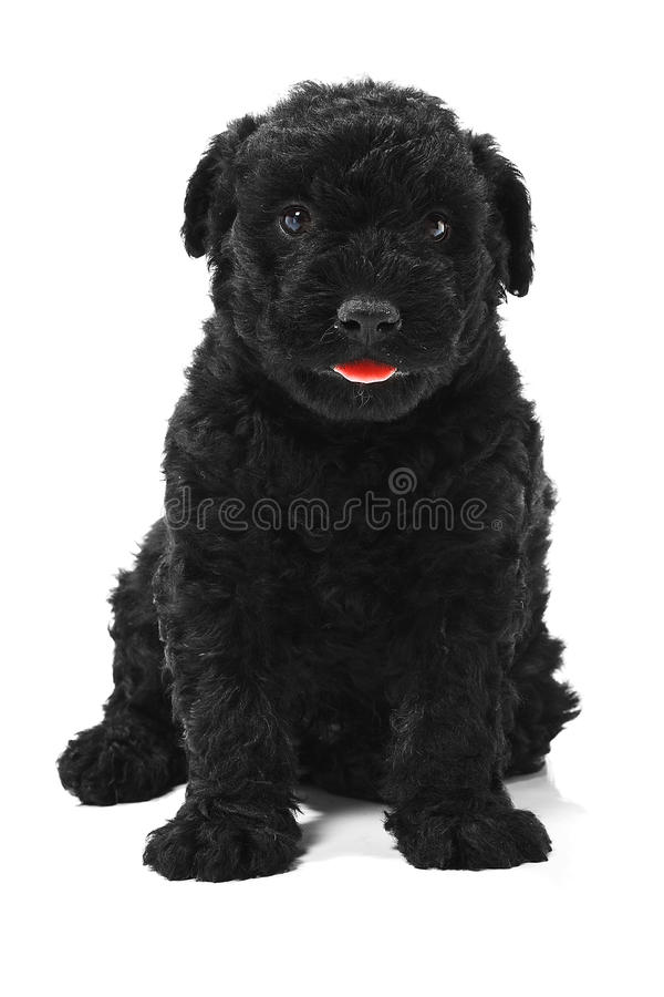 Download Puli Dog stock image. Image of hairy, portrait, authentic - 20394191