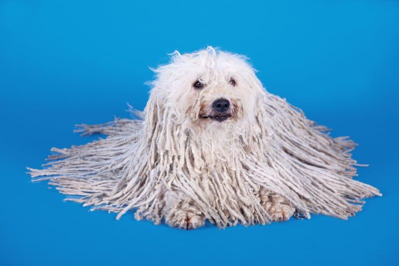 Puli hund royaltyfri foto
