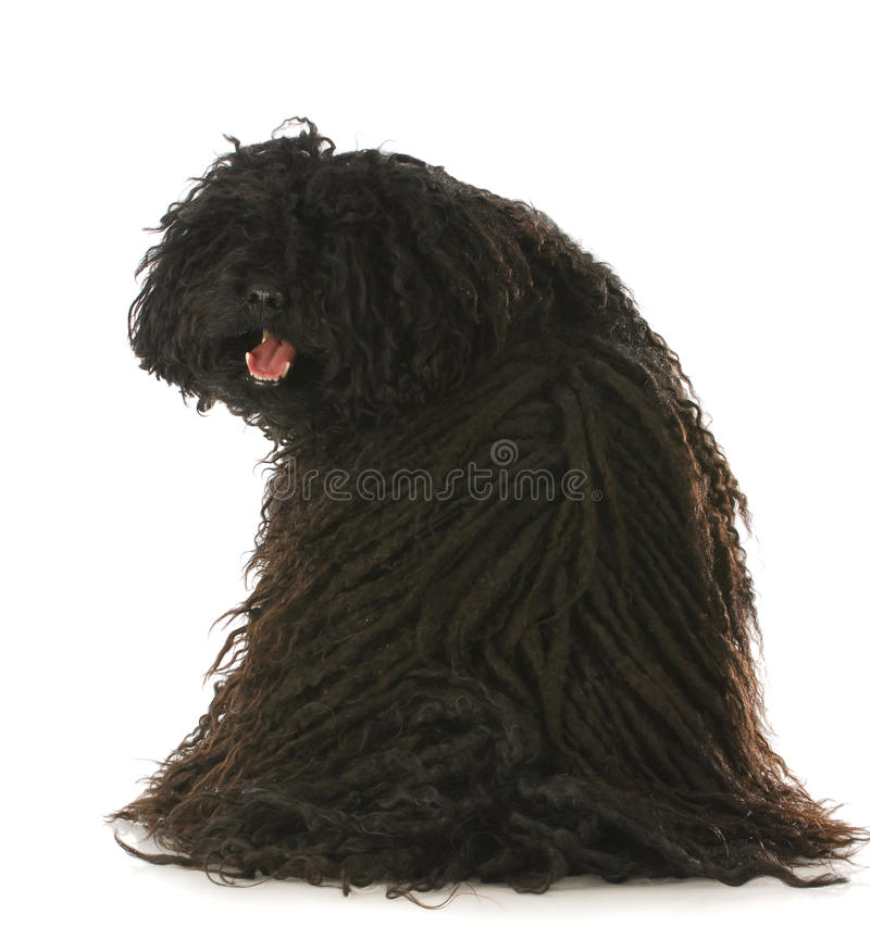 Puli looking at viewer royalty free stock photography