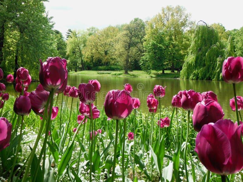 Pulimento maravilloso, tulipanes rosados en verano imagen de archivo libre de regalías