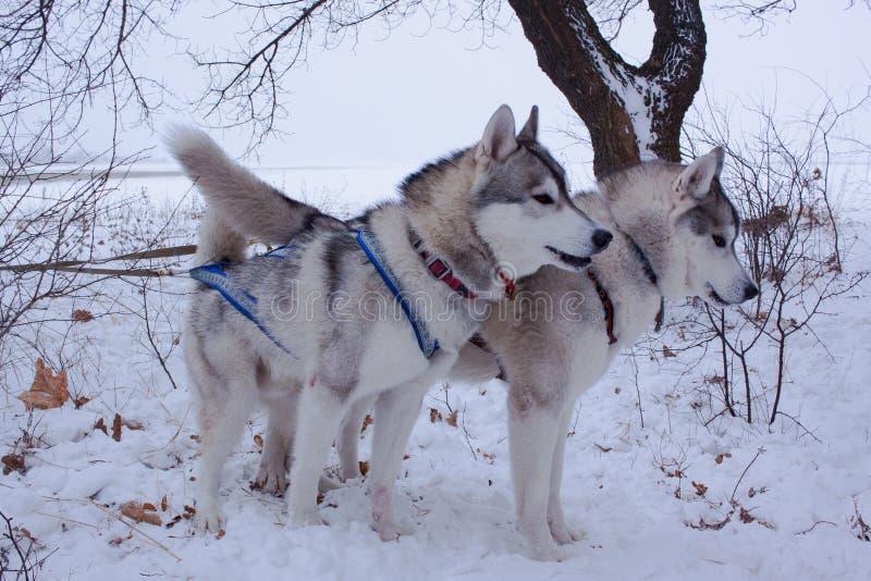Pulkahundkapplöpning i snö royaltyfria foton