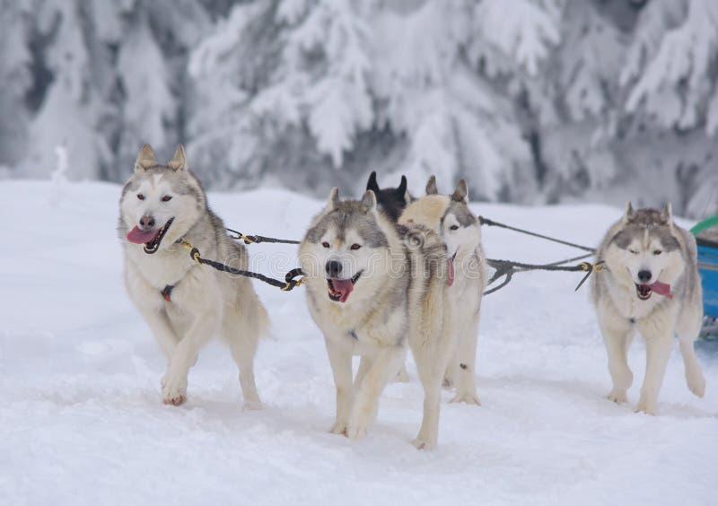 Pulkahundkapplöpning i vinter royaltyfri fotografi