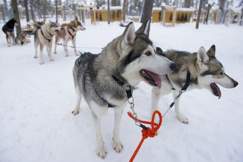 Pulkahundkapplöpning som är ivrig att köra, Kakslauttanen, Lapland, Finland royaltyfri fotografi