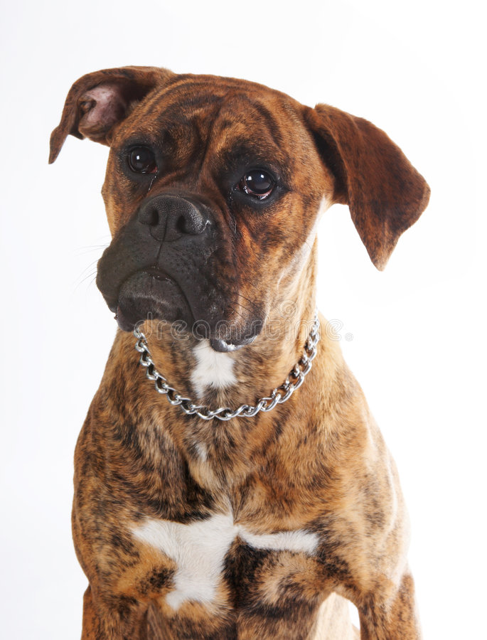 Pulling boxer faces stock photography