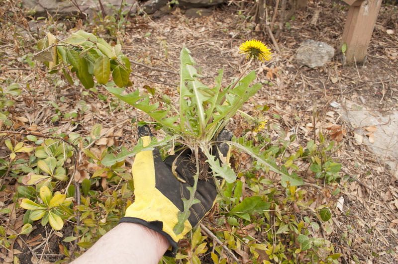 Pulling Weeds royalty free stock photo