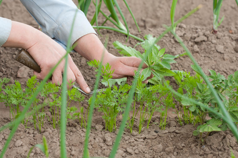 Download Pulling the weeds stock image. Image of gardening, agriculture - 32683367