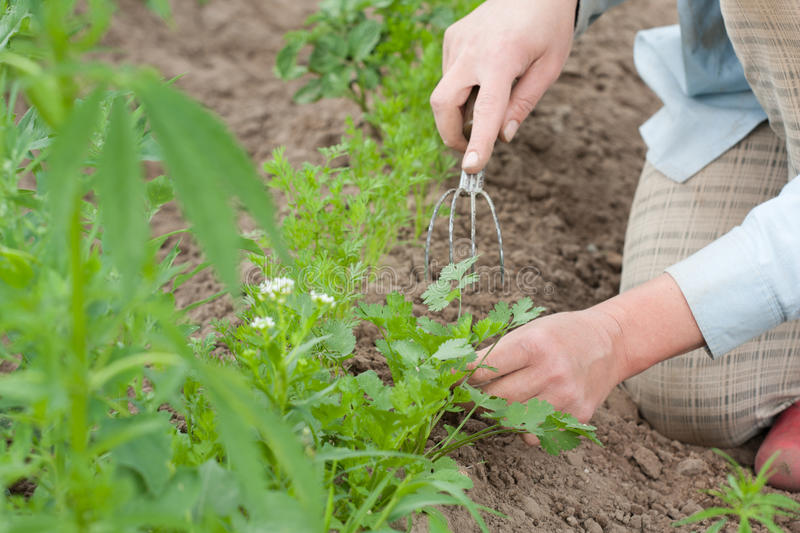 Download Pulling the weeds stock image. Image of occupation, picking - 32683409