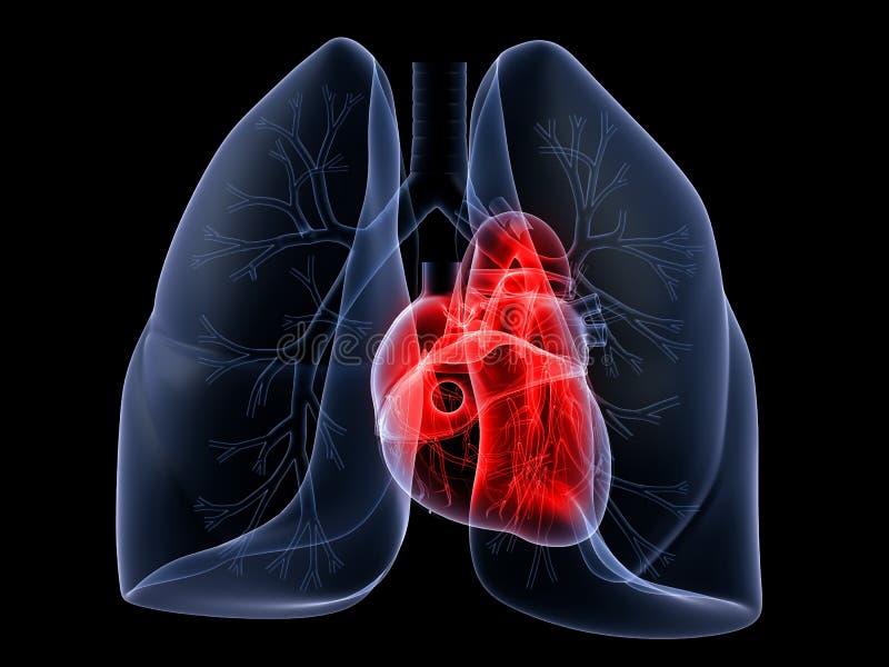 Pulmão e coração ilustração do vetor
