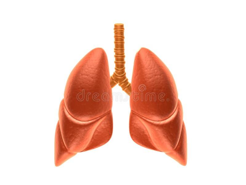 pulmões imagens de stock royalty free