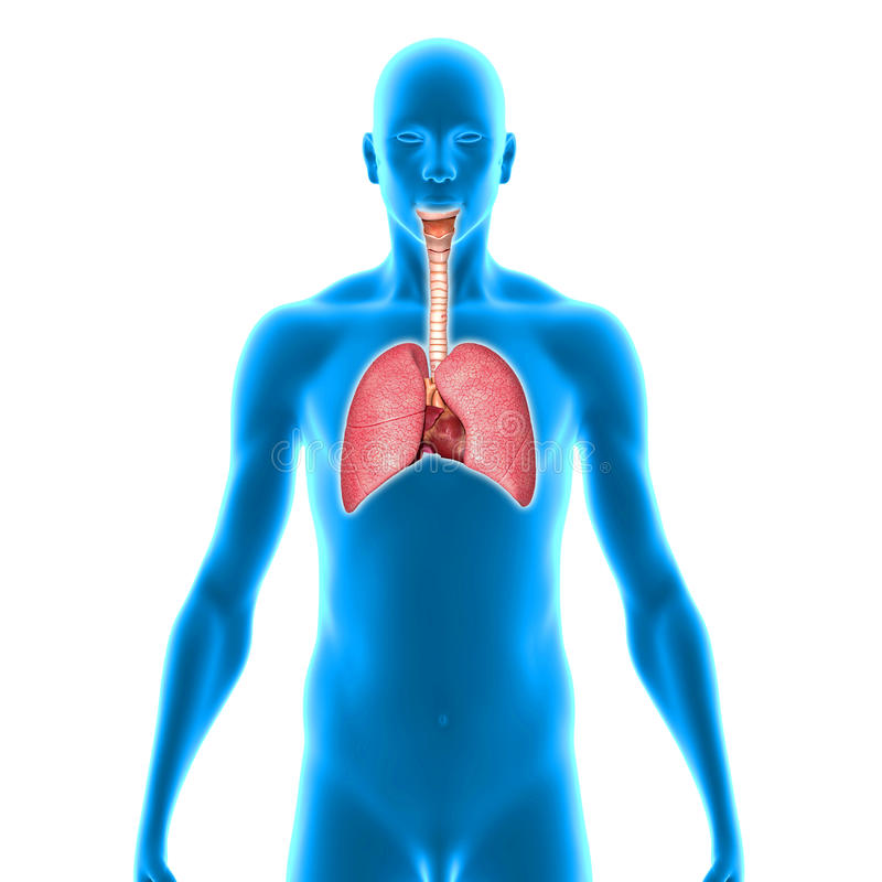 pulmões ilustração royalty free