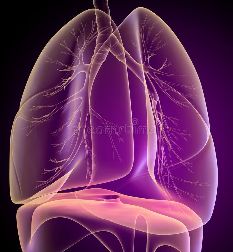 Pulmões e brônquio humanos na opinião do raio X ilustração royalty free
