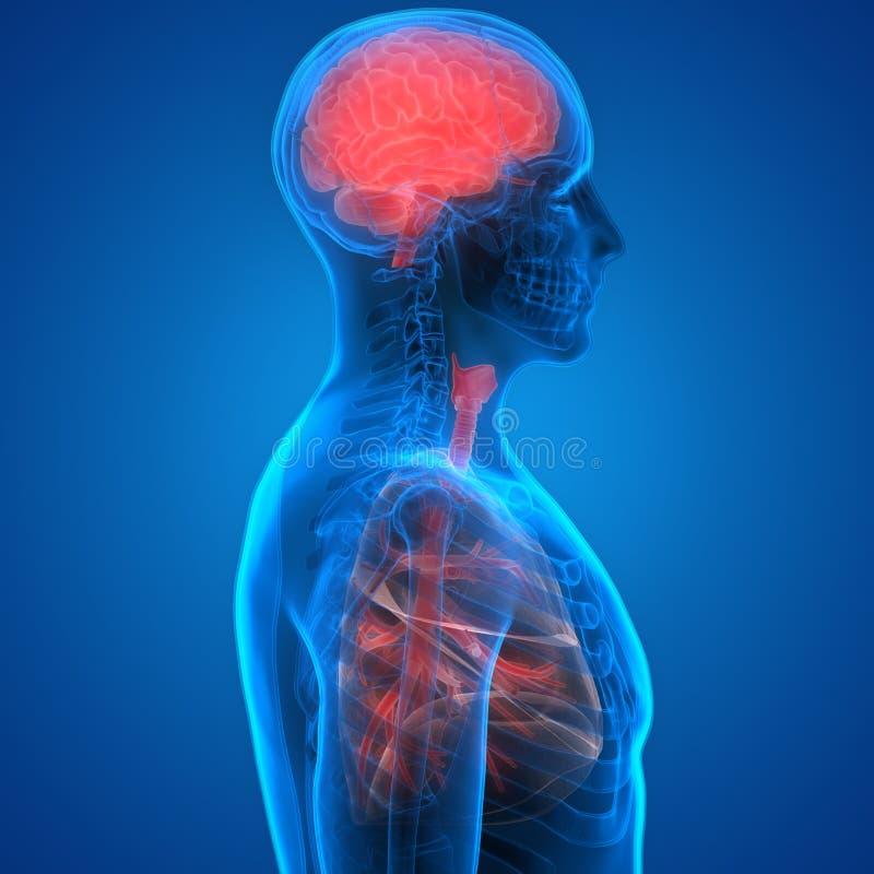Pulmões e cérebro dos órgãos do corpo humano ilustração royalty free