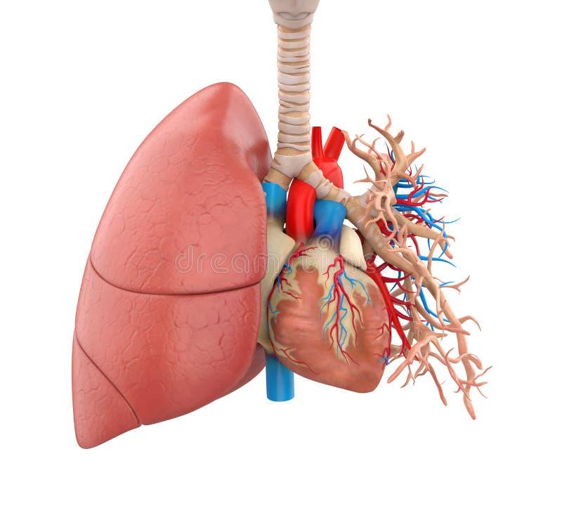 Pulmões e ilustração da anatomia do coração ilustração do vetor
