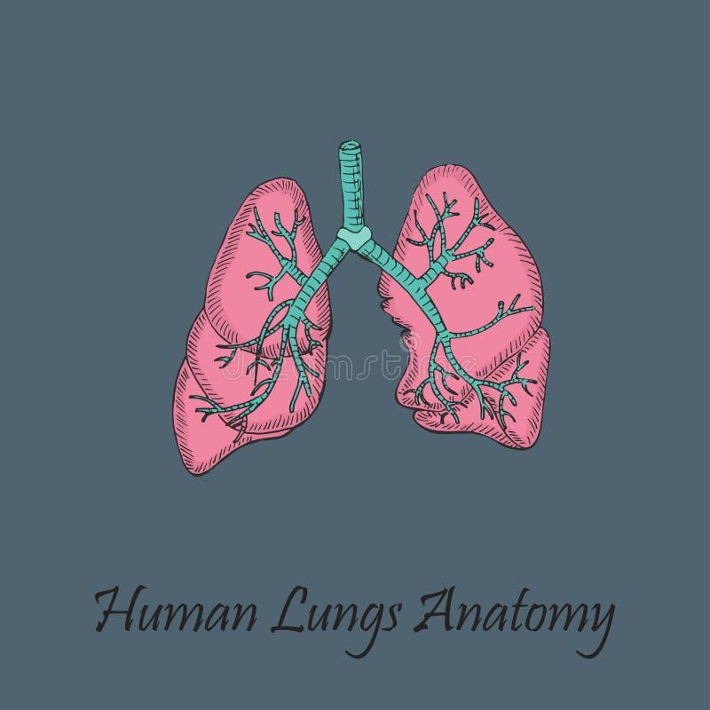 Pulmões humanos coloridos tirados mão ilustração do vetor