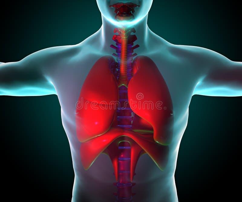Pulmões vistos em raios X ilustração stock