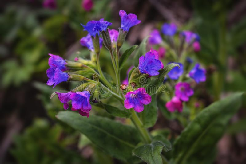 Pulmonaria flowers of different shades of violet in one inflorescence. The first spring flowers stock photos