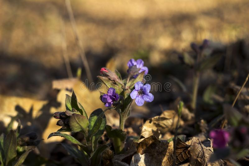 Pulmonaria is a genus of flowering plants in the family Boraginaceae. Pink and blue forest flowers unspotted lungwort, background.  royalty free stock photography
