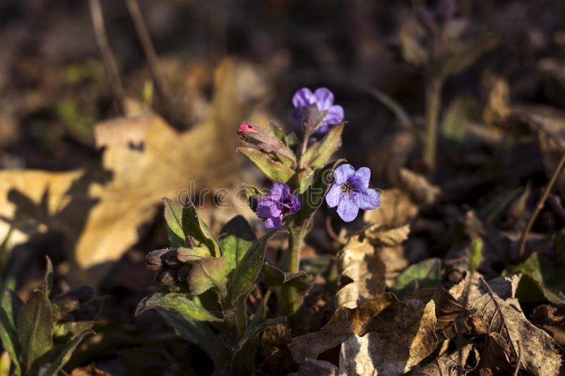 Pulmonaria is a genus of flowering plants in the family Boraginaceae. Pink and blue forest flowers unspotted lungwort, background.  royalty free stock photos