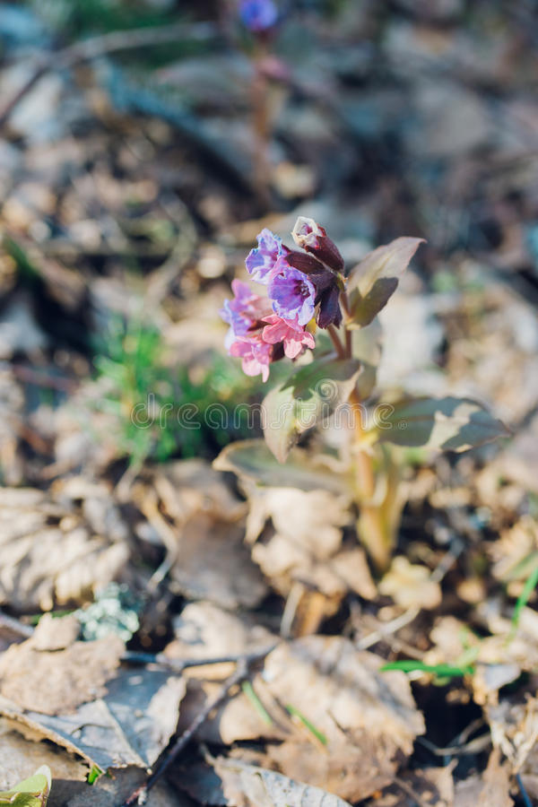 Pulmonaria or lungwort flowers by early springtime stock image