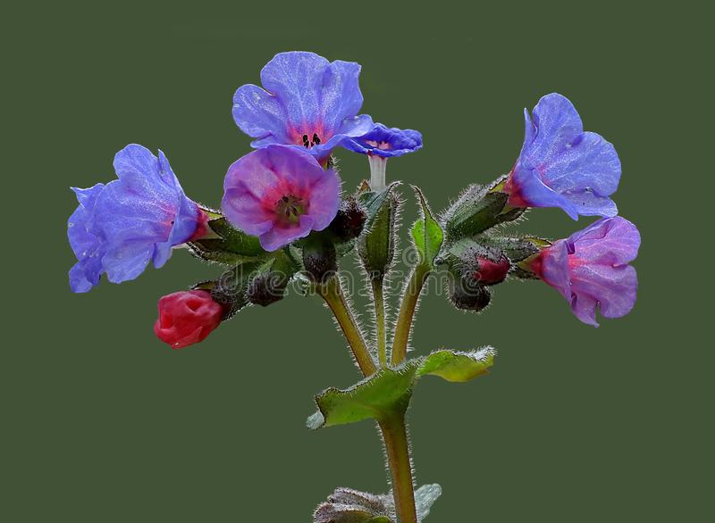 Pulmonaria officinalis,共同的lungwort,玛丽` s撕毁或我们的夫人` s牛奶下落,使用焦点堆的特写镜头 免版税库存照片