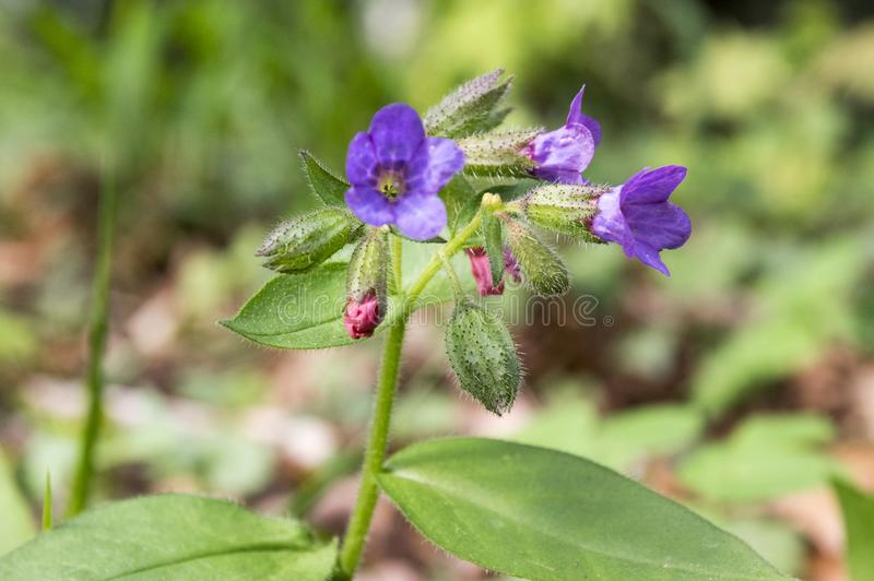 Pulmonaria officinalis in bloom, early springtime stock photo