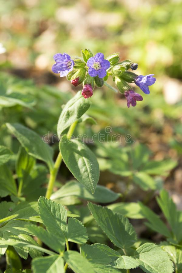 Pulmonaria officinalis in bloom, early springtime royalty free stock photo