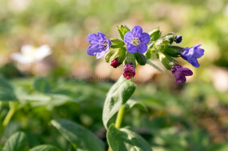Pulmonaria officinalis in bloom, early springtime stock photos